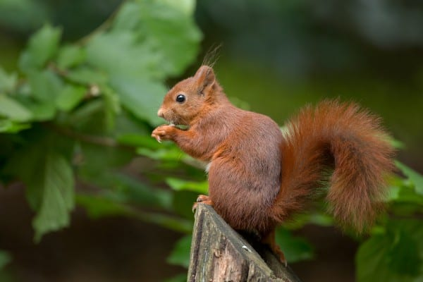 Red Squirrel, still reasonably abundant around Pitlochry