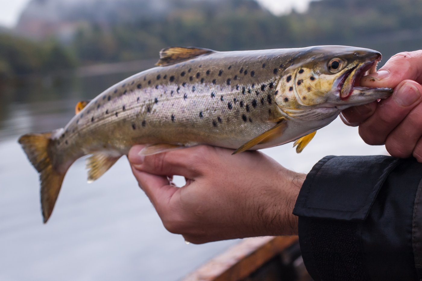 Salmon Fishing in Pitlochry