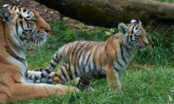 Amur Tiger and cub in Highland Wildlife Park