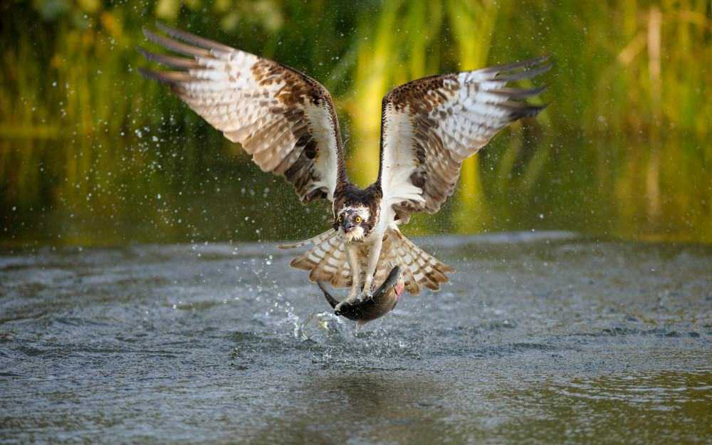 Ospreys Loch of the Lowes near Pitlochry